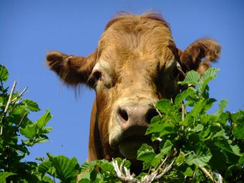 A Cow Peers Over A Hedgerow