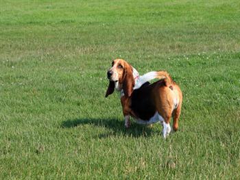Basset Hound Dog Free JPG