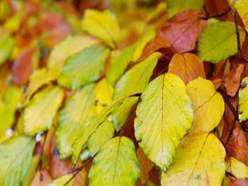 Beech Leaves Pattern Free JPG