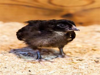 Black Chick Free JPG