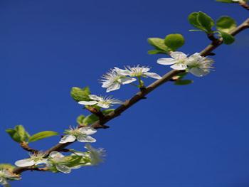 Blooming Apple Tree Branch Free JPG
