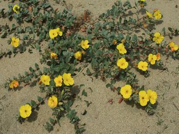 Blooming Beach Primrose Free JPG