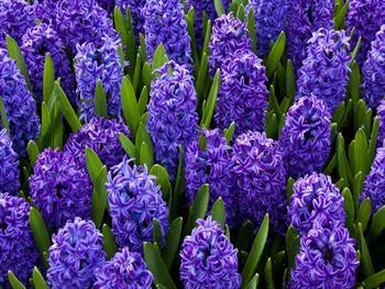 Blue Hyacinths Free JPG