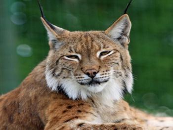 Bobcat Or Lynx Free JPG