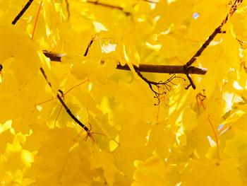 Bright Yellow Leaves Free JPG