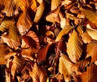 Brown Beech Leaves