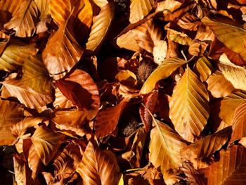 Brown Beech Leaves Free JPG