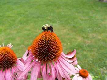 Bumble Bee Free JPG