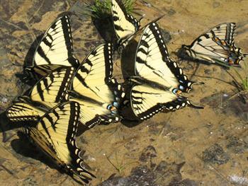 Butterflies Drinking Free JPG