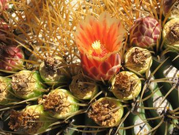 Cactus In Bloom Free JPG