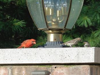 Cardinal Free JPG