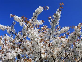 Cherry Tree In Blossom Free JPG
