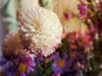 Chrysanthemums Free JPG