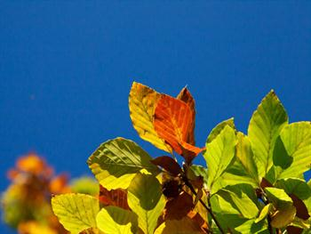 Colorful Beech Leaves Free JPG