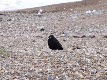 Crow On Beach Free JPG