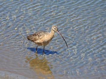 Curlew Wading In The Shallows Free JPG