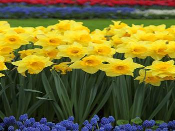 Daffodils And Grape Hyacinths Free JPG