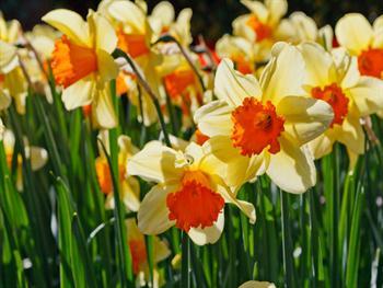 Daffodils Glowing Free JPG