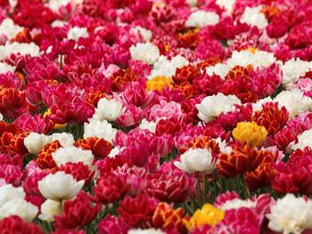 Double Tulips Free JPG