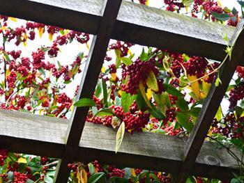 Firethorn Pyracantha Berries Free JPG