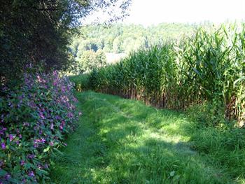 Flower And Corn Field Free JPG