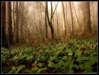 Forest In Fog Free JPG