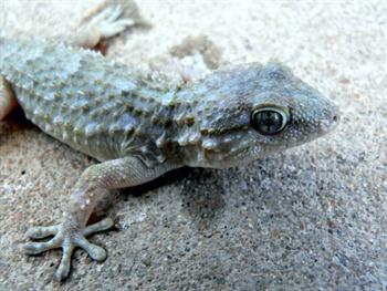 Gecko Free JPG