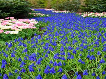 Grape Hyacinths Free JPG
