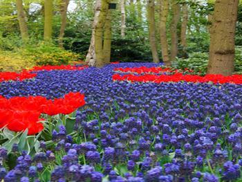 Grape Hyacinths River Free JPG
