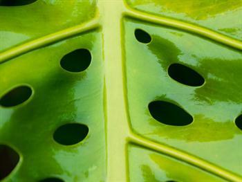 Green Leaf With Holes Free JPG