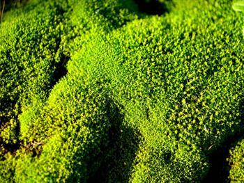 Green Moss Macro Free JPG