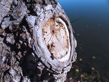 Knot On The Tree Free JPG
