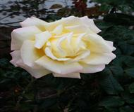 Large White Rose Bloom