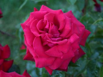 Light Red Rose Bloom Free JPG