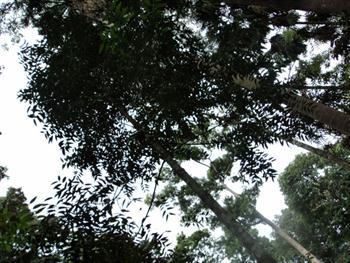 Long Tree Free JPG