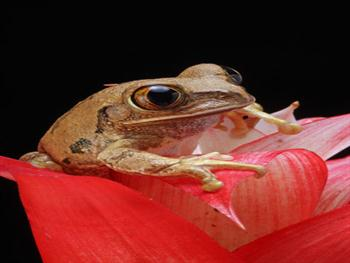 Marbled Reed Frog