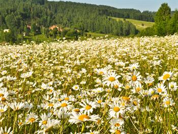 Meadow Of Daisies Free JPG