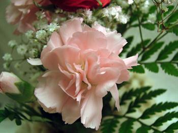 Mini Pink Carnation Free JPG