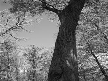 Oak Tree Free JPG