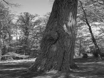 Oak Tree Too Free JPG