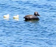 Oily Duck
