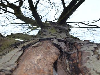 Old Tree Free JPG