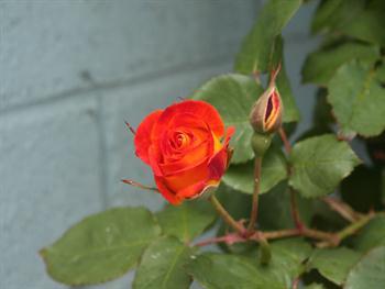 Orange And Yellow Rosebud Free JPG