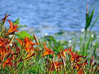 Orange Lily Free JPG