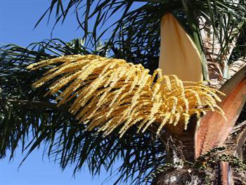 Palm Tree Blossom Free JPG