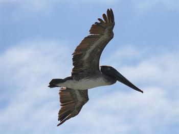 Pelican Flying Overhead Free JPG