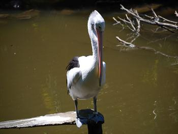 Pelican Resting Free JPG