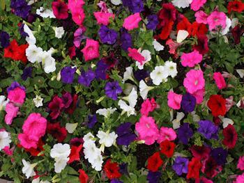 Petunia Blooms Background Free JPG