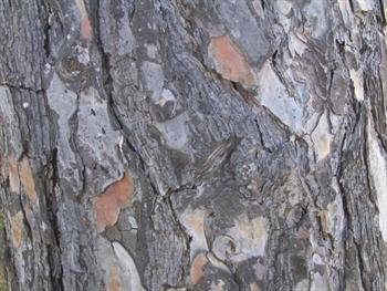 Pine Bark Background Free JPG