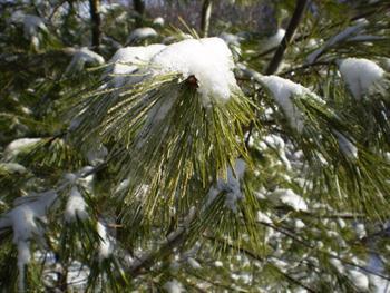Pine Branch Free JPG